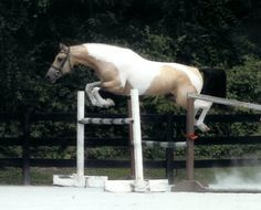 Maxamillion, AWR  Saddlebred x Dutch Warmblood, I have always loved this stallion I just learned he died Dutch Warmblood, Warmblood Horses, Chestnut Horse, Horse World, Show Jumping, Horse Breeds, Cute Creatures, Horse Art, Beautiful Horses