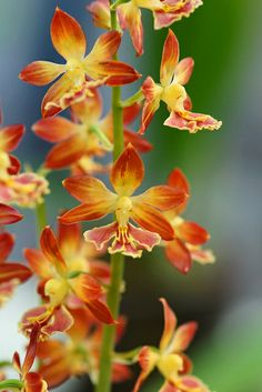Calanthe - Flickr - Photo Sharing!