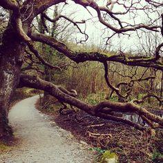 Uma velha árvore no condado de Limerick, na Irlanda.  Fotografia: wanderlust_gal no Instagram.