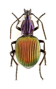 Brachygnathus angusticollis