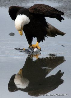 Eagles at Courtenay Estuary by Joel Maurice Vancouver Island, Great Pictures, British Columbia, Eagles, Bald Eagle, Wildlife, Airbrush, My Love, Reflection