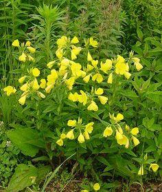 """Oenothera fruticosa """"Sundrops"""" sun/part sun mesic/dry mesic 1.5-2.5 ft Summer Bloom"""