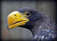 Steller's Sea Eagle Steller's Sea Eagle, Types Of Eagles, Wild Photography, Louis Stevenson, Robert Louis, All Gods Creatures, Animal Faces, Zoology, Birds Of Prey