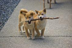 shibas and their sticks...
