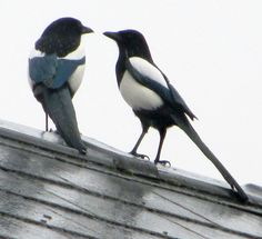 Strategy meeting?   Very likely. Think of Heckle & Jeckyl, who are NOT crows, but Magpies like these.  They are handsome birds, but they are also full of mischief.  You can't help but like 'em.