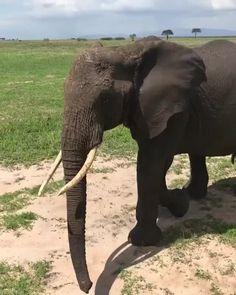 Let African Safaris & Adventures plan you're next big adventu Elephant Gif, Elephant Facts, Elephant Ear Plant, Elephant Love, African Elephant, Elephant Videos, Beautiful Creatures, Animals Beautiful, Cute Animals