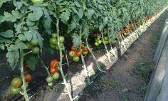 cum plantezi rosiile in gradina Vegetable Garden, Plants, Home And Garden, Flowers, Flower Stands, Secret Garden, Growing Vegetables, Solar, Garden