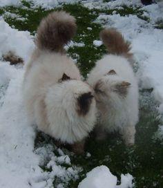 Snow Kisses! #Himalayan #Cat