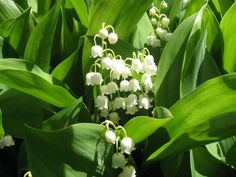 How to Grow and Care for Lily of the Valley - See more at: http://worldoffloweringplants.com/grow-care-lily-valley