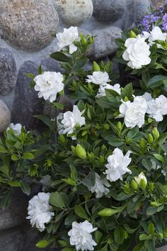 Garden Plants - Integrate beautiful gardenias in garden design The joy that the plant evokes in one Shade Flowers, Shade Plants, Beautiful Flowers, Cut Flowers, Shade Shrubs, Shrubs With White Flowers, Exotic Flowers, Garden Shrubs, Shade Garden