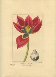 Tulipa Oculus solis. Tulipe oeil-de-soleil. FRANCE) Bessa, Pancrace (illus). Barrois (engraved by). Published by Paris. 1836., 1836