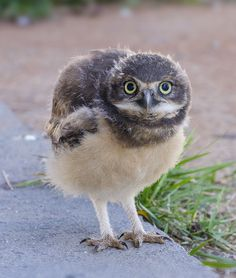 baby owl by Enzo Davide on 500px