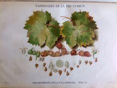 ¿Cómo diferenciar una variedad de uva de otra?..   Para poder distinguir una variedad de otra, es necesario observar las diferencias de todas las partes de la vid e, incluso, en diversos momentos del ciclo vegetativo