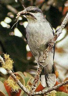 Mauritius Cuckoo shrike - Coracina typica