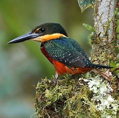 Green-and-rufous Kingfisher (Chloroceryle inda) - resident breeding bird in the lowlands of the American tropics, from south-east Nicaragua, south to southern Brazil. Kinds Of Birds, All Birds, Love Birds, Tropical Birds, Exotic Birds, Colorful Birds, Most Beautiful Birds, Pretty Birds, Animals Beautiful