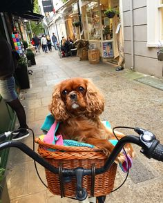 ruby cavalier king charles spaniel in bicycle basket