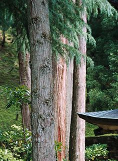 Cedar - Kyoto    By Klaus Oppenheimer