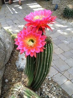 Pink flower cactus tattoo idea