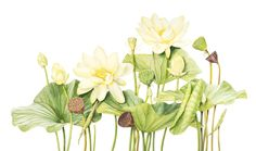 Paintings and drawings from the world's first gallery dedicated to botanical art. Watercolor Lotus, Lotus Painting, Yellow Painting, Watercolor Flowers, Watercolor Paintings, Plant Illustration, Botanical Illustration, Botanical Flowers, Botanical Prints