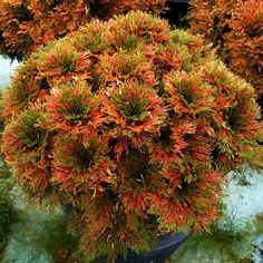 Selaginella tamariscina 'Kokonoe Nishiki'