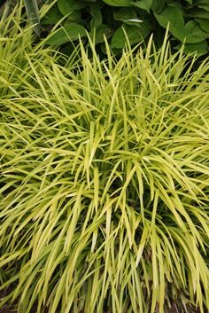 """Liriope Muscari 'Pee Dee Gold' - 18"""" tall x 30"""" wide clump of brilliant golden foliage. In shade, the foliage fades to a chartreuse-green in summer, but when grown with any sun exposure, the foliage remains bright gold all year."""