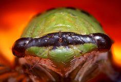 Cicada Head at 16 Megapixels - (Tibicen superba)