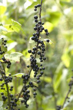 Prune blackcurrant From November till February