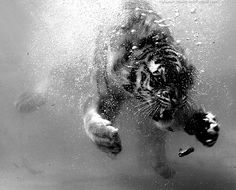 black and white, tiger, water