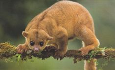 """The kinkajou is a rainforest mammal of the family Procyonidae related to olingos, coatis, raccoons, and the ringtail and cacomistle. It is the only member of the genus Potos and is also known as the """"honey bear"""". Reptiles, Mammals, Nocturne, Raccoon Family, Los Primates, Wild Kratts, American Animals, Unusual Animals, Exotic Animals"""