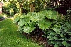 Darmera peltata, prachtig groot blad met mooie herfstkleuren en lange roze bloemen
