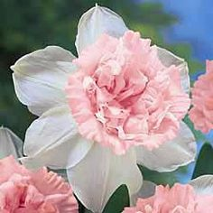 Rosy Cloud daffodil