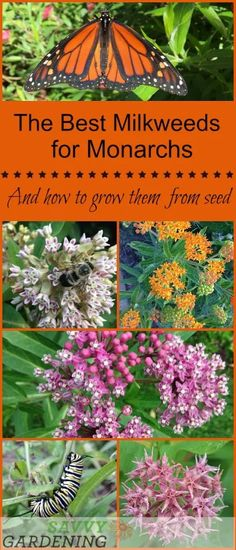 Milkweeds are the only monarch butterfly host plant, but there are lots of different species you can grow. Learn about the best ones and how to start them from seed. garden The Monarch Butterfly Host Plant: Milkweeds and How to Grow Them From Seed Garden Care, Gardening For Beginners, Gardening Tips, Container Gardening, Balcony Gardening, Indoor Gardening, Indoor Plants, Butterfly Plants, Butterflies