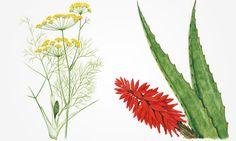 Conhe�a e saiba usar 37 plantas medicinais