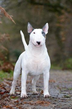 Bull Terrier 'Peaty'. Photo by Alice van Kempen