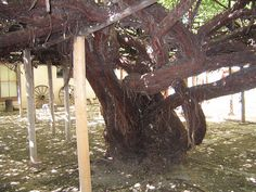 Under the largest rose bush in the world, Tombstone Arizona
