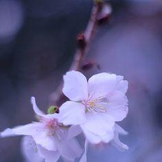 【mutsmmin】さんのInstagramをピンしています。 《. . 冬桜🌸 . 先日アイスチューリップを見に行った海浜公園にひっそり咲いてました💙 . こんなに寒いのに、もう満開は過ぎているらしく、花びらが芝の上に散っていました🌸 . こんな時期に可憐な姿を見せてくれていると、愛おしくなります(*´˘`*)💗 . まだ、チューリップ、続けたいんですが、ここでちょっと休憩です😊 . 今から新年会?🍻行ってきまーす👋 . . . #冬桜#冬#だけど春#桜#🌸#flower#photograph#photography#福岡#海の中道海浜公園#ファインダー越しの私の世界#写真撮るのが好きな人と繋がりたい#カメラ女子#ミラーレス一眼#オールドレンズ》