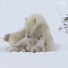 Baby Animals Wild - Welcome Pikide Funny Animal Videos, Cute Funny Animals, Cute Baby Animals, Animals And Pets, Wild Animals, Photo Ours, Baby Polar Bears, Mundo Animal, Cute Animal Pictures