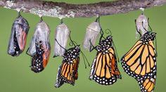 vlinders komen uit cocon - Google zoeken
