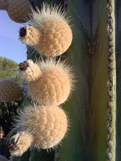 Pachycereus pringlei fruits.