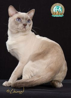 """Tonkinese, Best of the Breed. Our's was pet quality and has a new home. She was smarter and quicker than these two ol' folks and we had trouble keeping up with her """"escapades!"""" The description on the CFA page is spot on! She invented games, and would amuse herself if we didn't! Very loving and intelligent."""