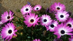 https://flic.kr/p/JbXUMZ | Adiós a la primavera 2016 ;-)) | en.wikipedia.org/wiki/Osteospermum  African daisy. Asteraceae.  Osteospermum  Igual que vino, se va...  Podrán cortar todas las flores, pero no podrán detener la primavera. Pablo Neruda   youtu.be/qmxFAT581T4?list=PLosVqofPFvN4nTScHrORuiG0K7rpxrcFx