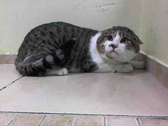 ***SAFE*** Pulled by Anjellicle Cats Rescue- Donation: TOMMYA1021221  11/26/14 Brooklyn Center  My name is TOMMY. My Animal ID # is A1021221. I am a male brn tabby and white domestic sh mix. The shelter thinks I am about 4 YEARS old.  I came in the shelter as a STRAY on 11/20/2014 from NY 11360, owner surrender reason stated was STRAY. Scared at ACC so NEW HOPE Only!
