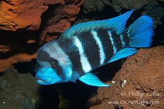 Bumphead cichlid, found only in Lake Tanganyika, Africa.