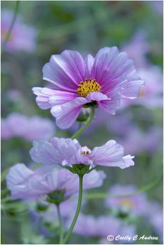 Cosmos Flowers - By CecilyAndreuArtwork - Cosmos - Sow directly into the ground after danger of frost. They grow quickly and are great cutting flowers.