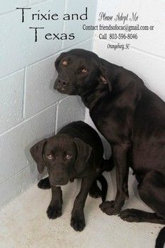 Trixie and Texas: Black Labs found at landfill and running short of time