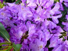 Purple rhodys stop traffic! www.thedirtdiaries.com