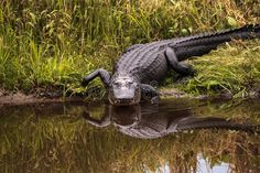 Photo about Large menacing American alligator Alligator mississippiensis in the wetland and marsh at the Myakka River State Park in Sarasota, Florida, USA. Image of water, reptile, nature - 108345016 Alligator Image, Myakka River State Park, Animal Attack, Wildlife Conservation, Predator, State Parks, Habitats, Places To See, Creatures