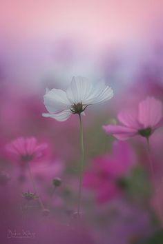 Cosmos Flowers, Flowers Nature, Wild Flowers, Pictures Of Poppy Flowers, Flower Photos, Flower Background Wallpaper, Flower Backgrounds, Happy Flowers, Beautiful Flowers