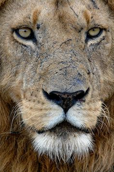 Crazy Cat Lady, Crazy Cats, South Africa Wildlife, Animals And Pets, Cute Animals, Beauty Redefined, Lion Art, Majestic Animals, Big Cats