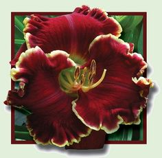 """Scarlet Angel (Petit, 2010) height 28"""", bloom 7"""", season M, Rebloom, Semi-Evergreen, Tetraploid, Dark red with lighter watermark and gold edge. (Ruby Pearl Sullivan × (Electric Red × Prince John))      5 - Seeds Violet Becomes You X Scarlet Angel."""